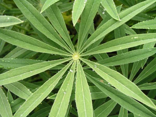 Lupine (Lupinus), foliage detail