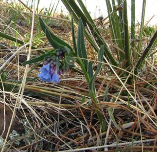 Prairie Bluebell