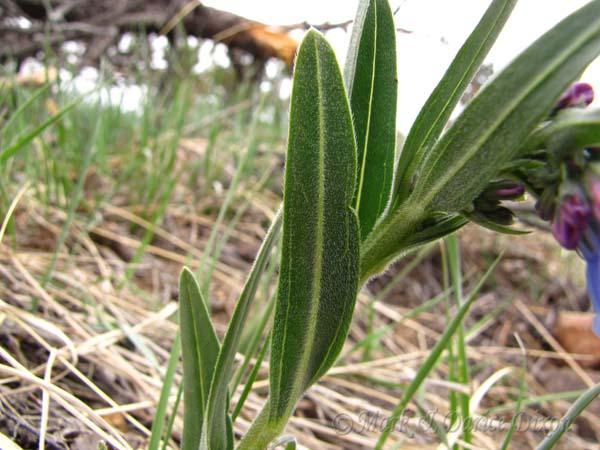 Prairie Bluebell, foliage detail