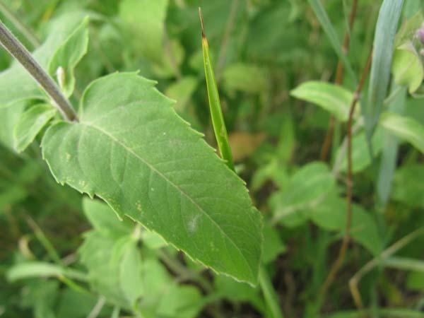 Wild Bergamot (Monarda fistulosa), foliage detail