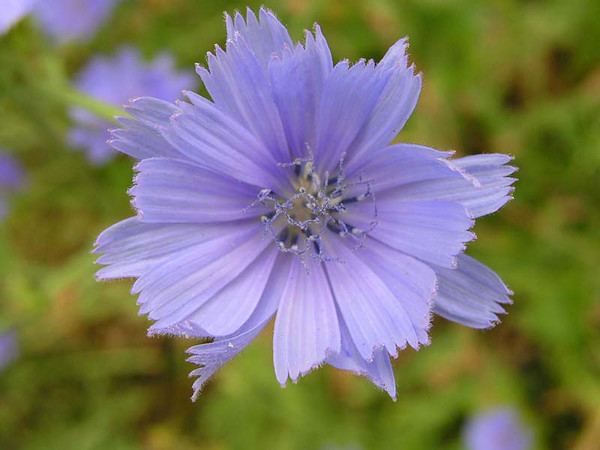 Chicory (Cichorium pumilum), flower view