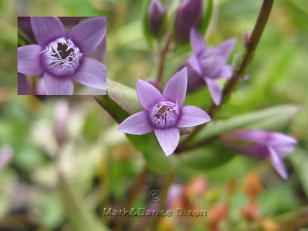 Little Gentian, flower view