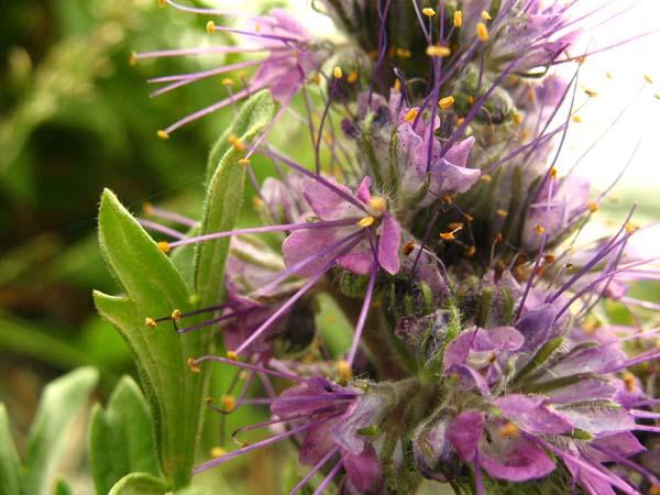 Silky Phacelia (Phacelia sericea), flower view