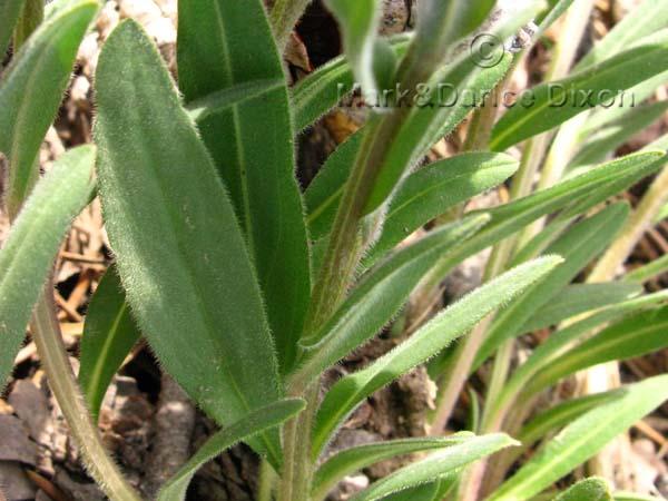 Alpine Mertensia, foliage detail