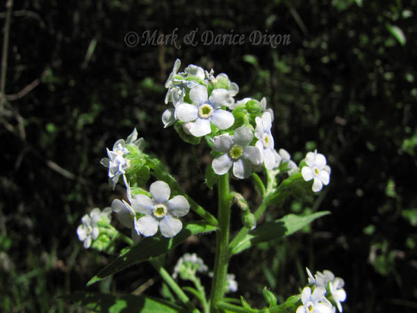 Many-flowered Stickseed, flower