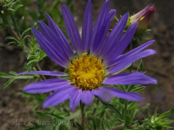Tanseyleaf Tansyaster (Machaeranthera tanacetifolia), flower view