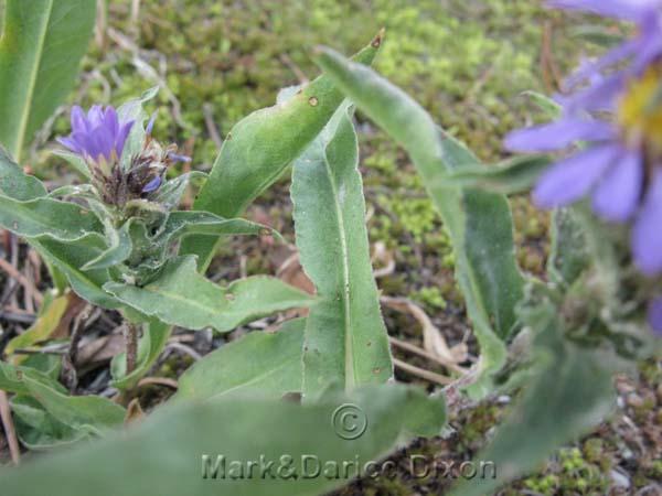 Eurybia integrifolia, foliage detail