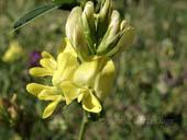 Medicago sativa subspecies yellow
