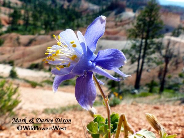 Aquilegia scopulorum - Utah Columbine, flower