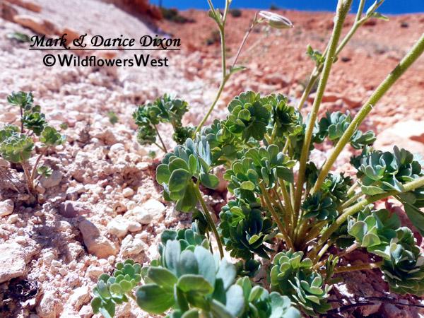 Aquilegia scopulorum - Utah Columbine, foliage