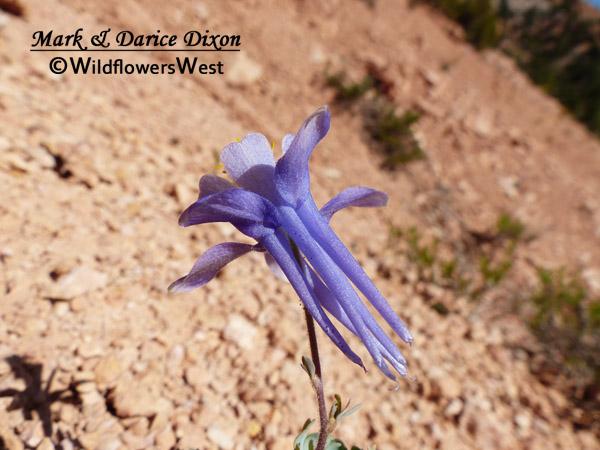 Aquilegia scopulorum - Utah Columbine, spurs