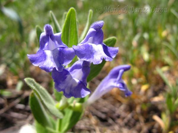 Scutellaria brittonii
