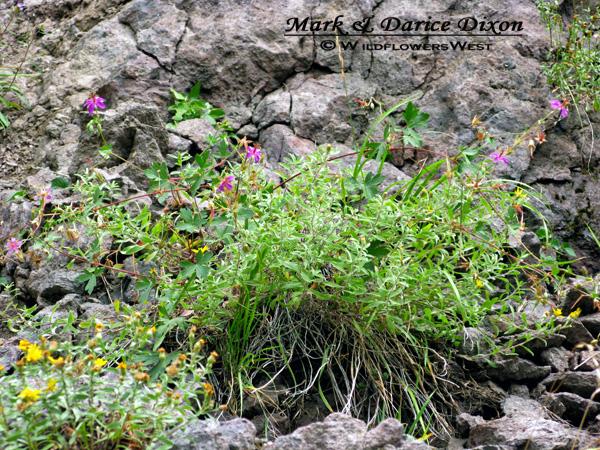 Geranium caespitosum