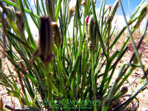 Lygodesmia grandiflora