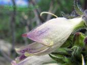 Penstemon whippleanus