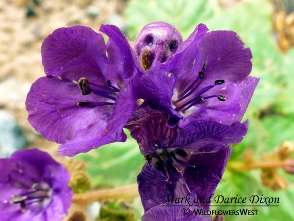 Phacelia calthifolia - Calthaleaf Phacelia, flower