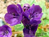 Phacelia calthifolia - Calthaleaf Phacelia