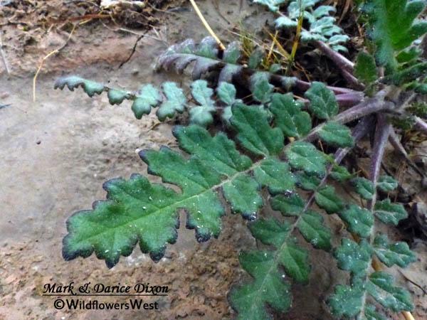 Phacelia crenulata, basal foliage