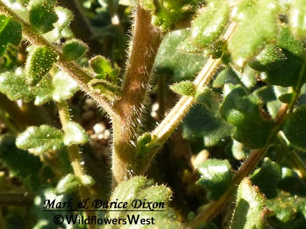 Phacelia crenulata