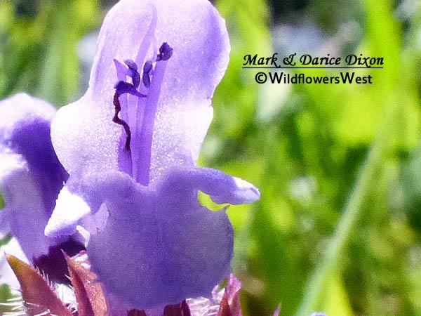 Prunella vulgaris - Common Selfheal
