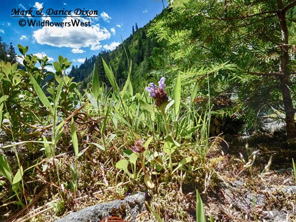 Prunella vulgaris - Common Selfheal, plant view