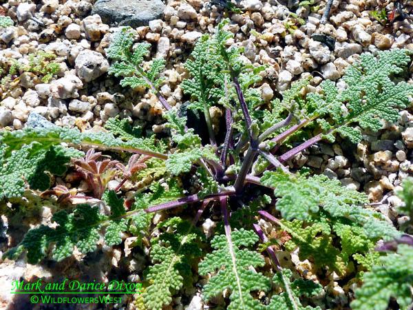 Salvia columbariae - Chia Sage