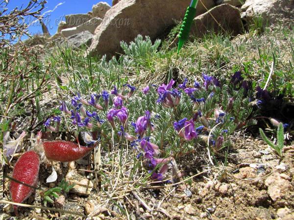 Goliath Nature Area, Mt Evans Colorado, plant location