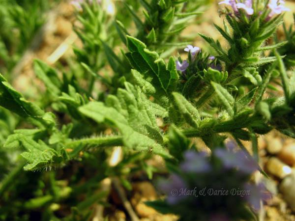 Verbena bracteata