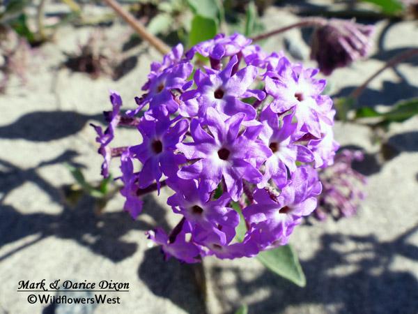Abronia villosa - Desert Sand Verbena, flower