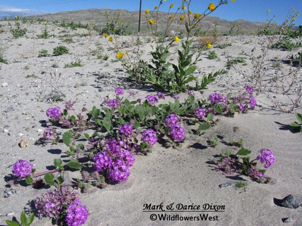 Abronia villosa - Desert Sand Verbena, plant
