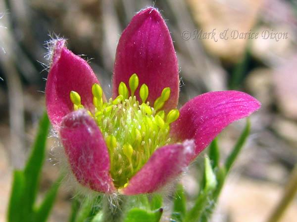 Anemone multifida ssp. globosa