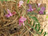 Astragalus flexuosus