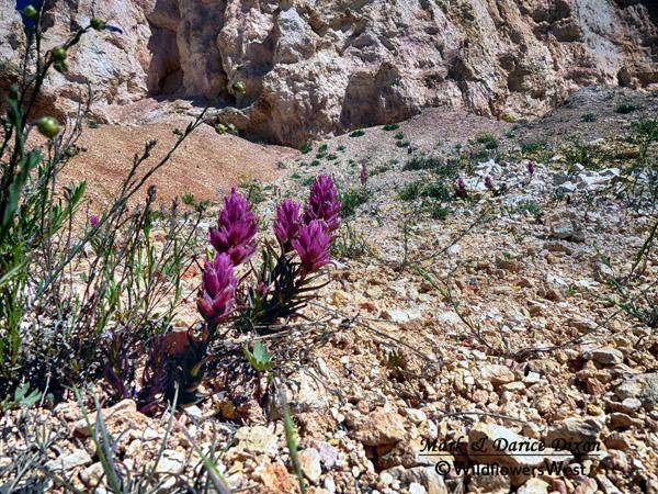 Castilleja revealii - Bryce Canyon Paintbrush, plant