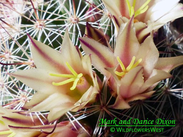 Mammillaria dioica - California fishhook cactus, flower