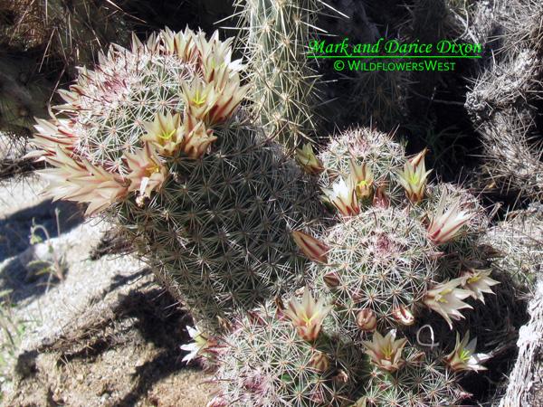Mammillaria dioica - California fishhook cactus, plant