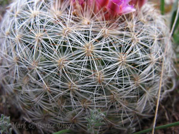 Pediocactus simpsonii var. minor
