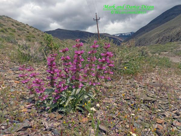 Penstemon monoensis - Mono Penstemon, plant view