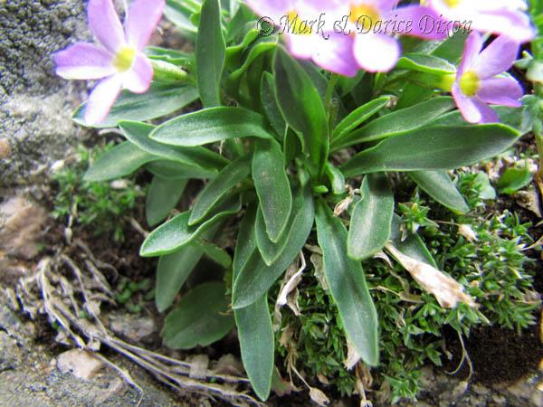 Primula angustifolia