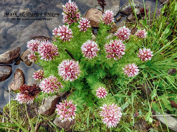 Rhodiola rhodantha