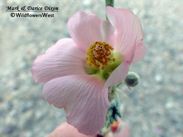 Sphaeralcea ambigua var. rosacea - Rose Globemallow