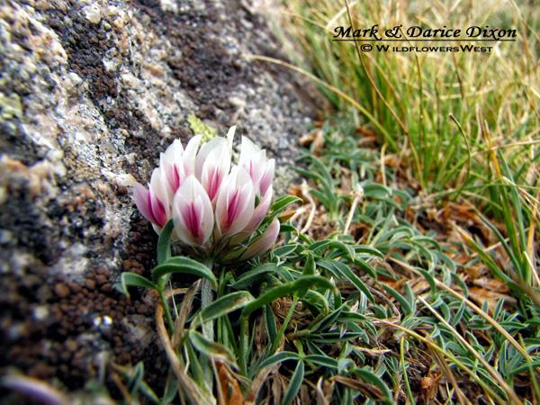 Trifolium dasyphyllum