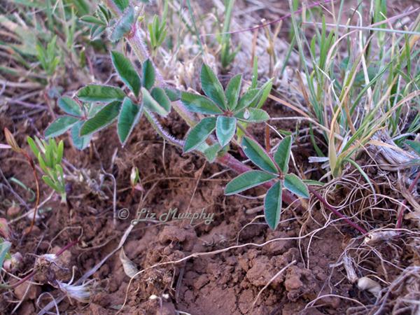 Trifolium macrocephalum