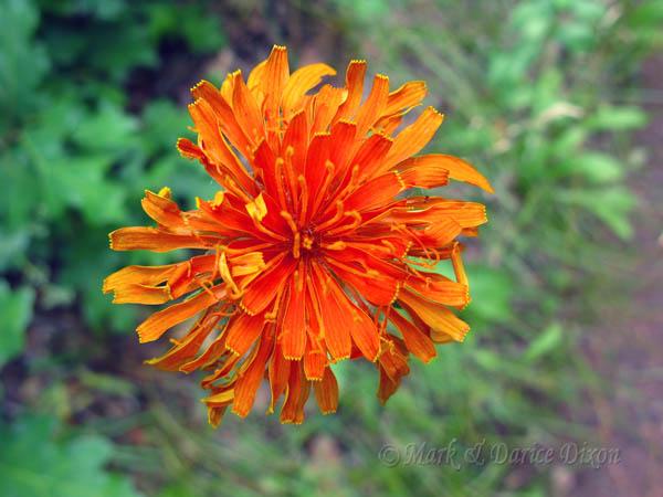 Orange Agoseris (Agoseris aurantiaca), flower view