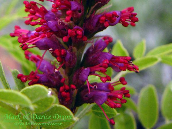 Amorpha nana