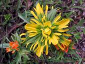 Castilleja hispida yellow