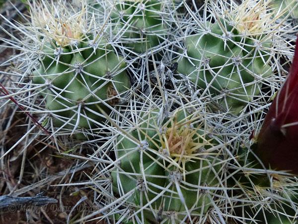 Claret Cup Cactus (Echinocereus triglochidiatus), foliage detail