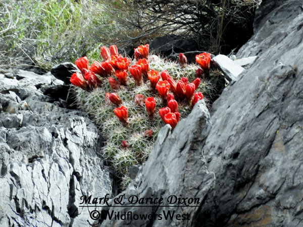 Echinocereus triglochidiatus var. mojavensis