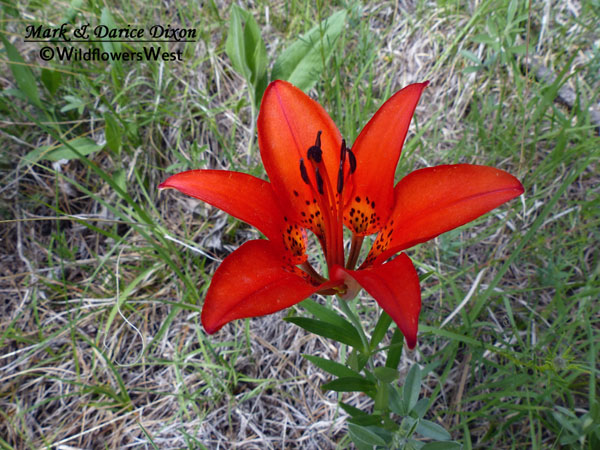 Lilium philadelphicum - Wood Lily, flower