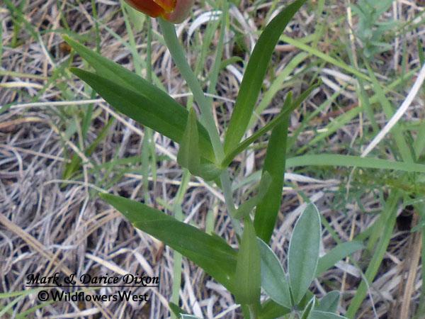 Lilium philadelphicum - Wood Lily, foliage