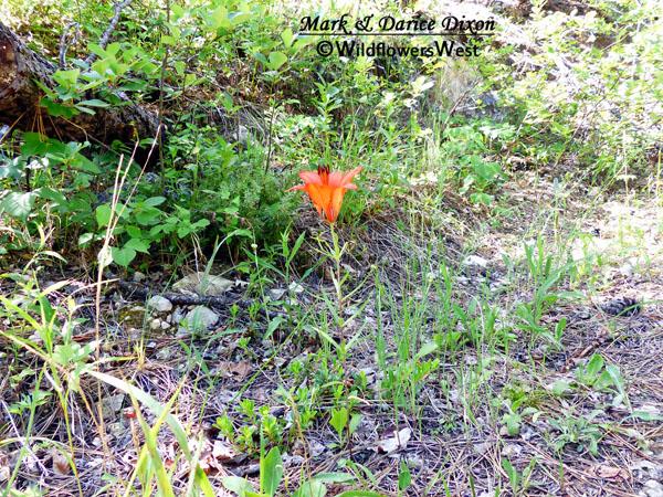 Lilium philadelphicum - Wood Lily, plant